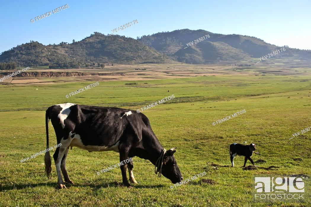 Stock Photo: Cow and calf grazing in an open field. At Korem ( Tigray state, Ethiopia). Korem and its surroundings became famous during the 1984-1985 famine as the worst hit.