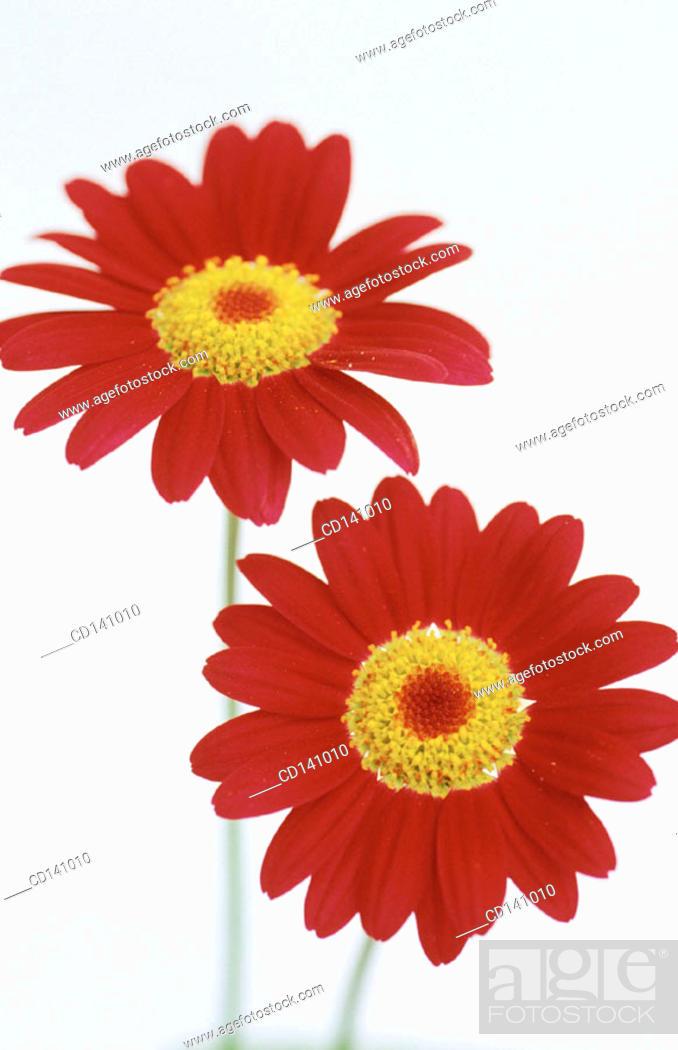 Stock Photo: Chrysantemum.