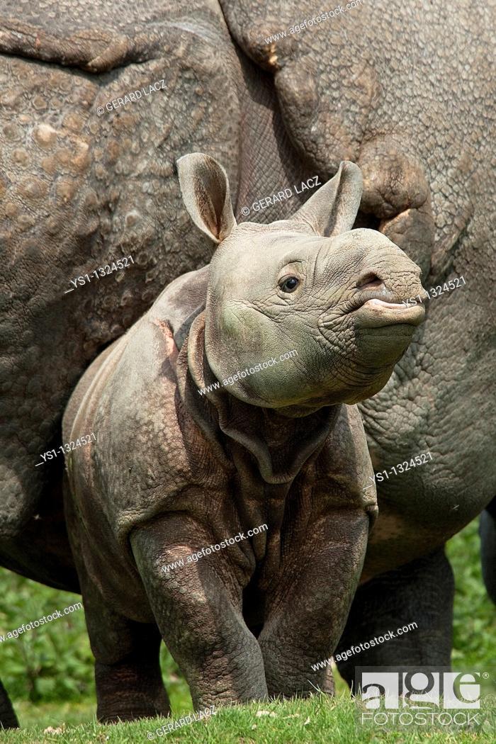 Stock Photo: Indian Rhinoceros, rhinoceros unicornis, Mother with Calf.