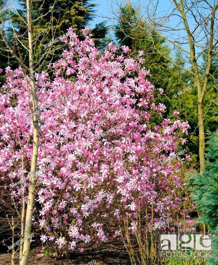 Star Magnolia Magnolia X Loebneri Leonard Messel Magnolia X