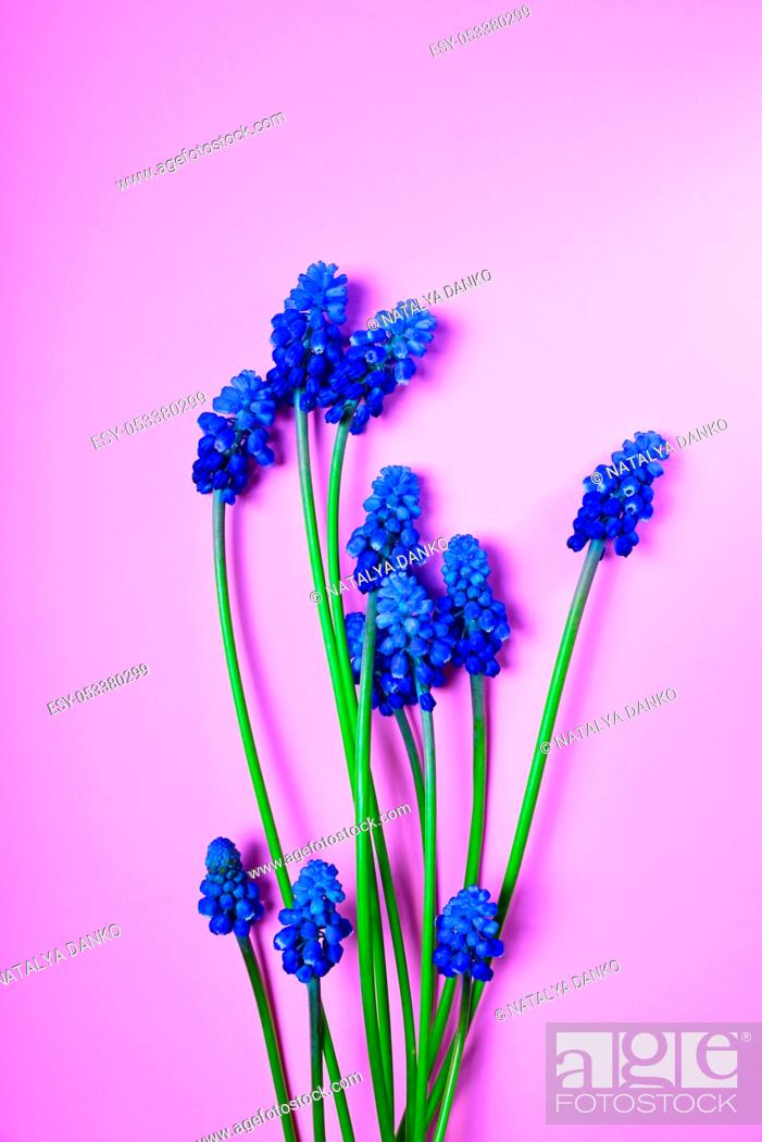 Stock Photo: Blue spring flowers on a pink surface, a muscari flower or a mouse hyacinth, empty space.