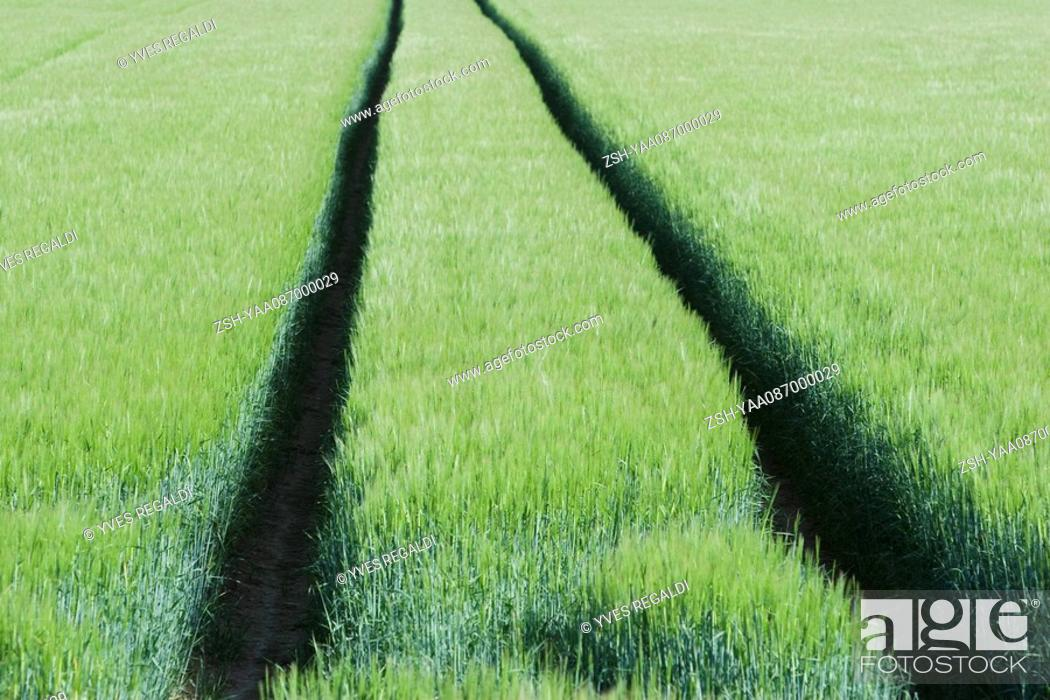 Stock Photo: Tracks through wheat field.