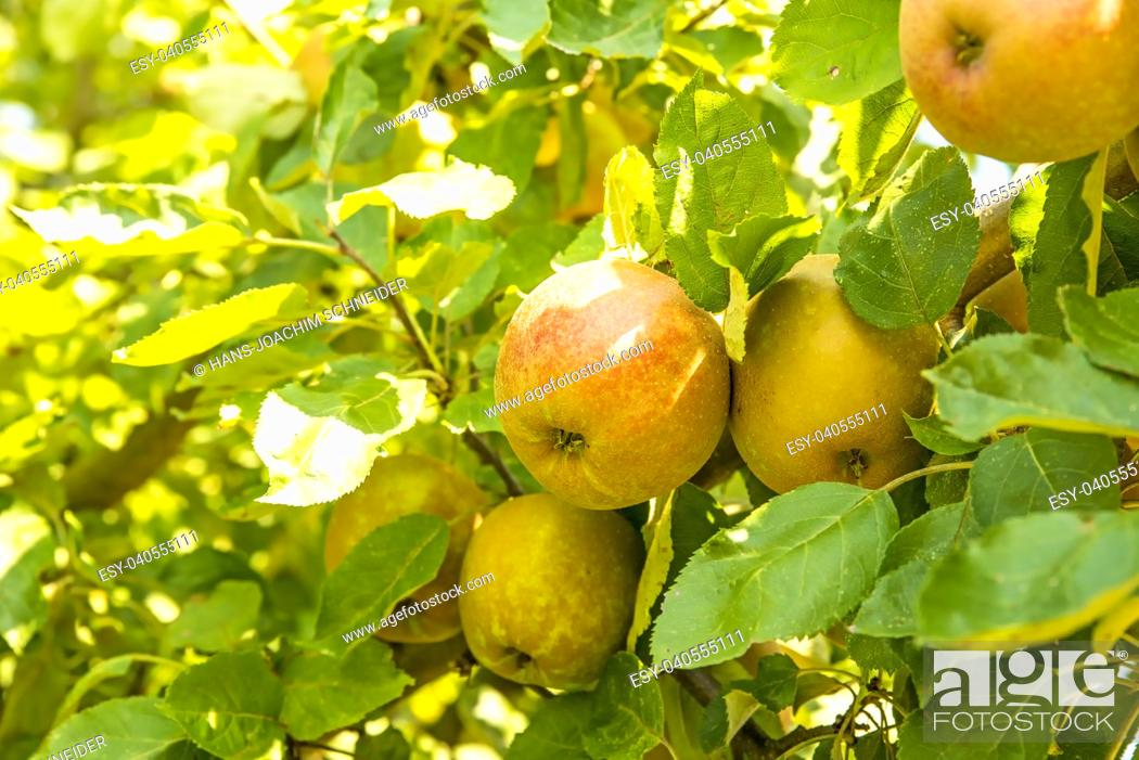 Stock Photo: apples on a tree in summertime in Germany.