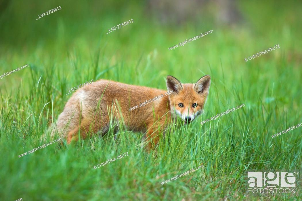 Stock Photo: Red fox cub (Vulpes vulpes) in grass, Germany.