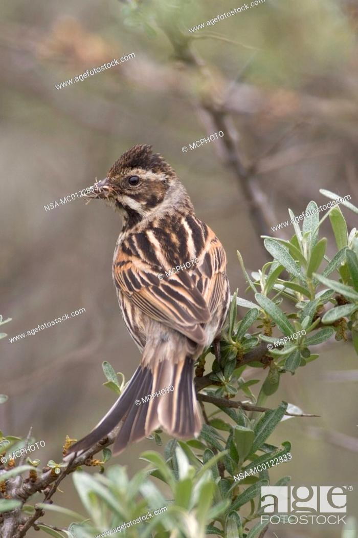 Stock Photo: Reed Bunting.