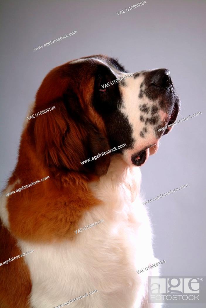 Stock Photo: pose, st bernard, house pet, canines, domestic, saint bernard.