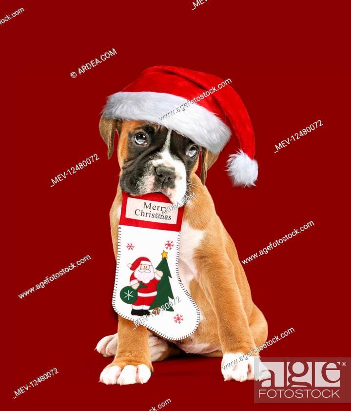 Stock Photo: Boxer Dog, puppy wearing Christmas hat holding.