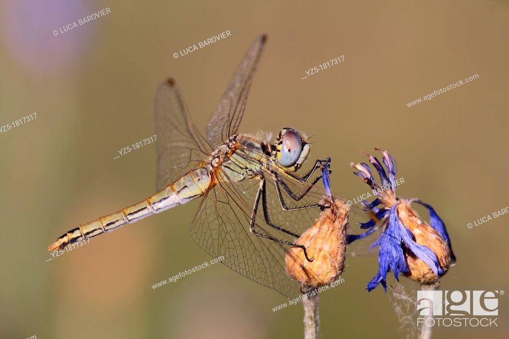 Stock Photo: Dragonfly, Crocothemis erythraea, female - Italy.