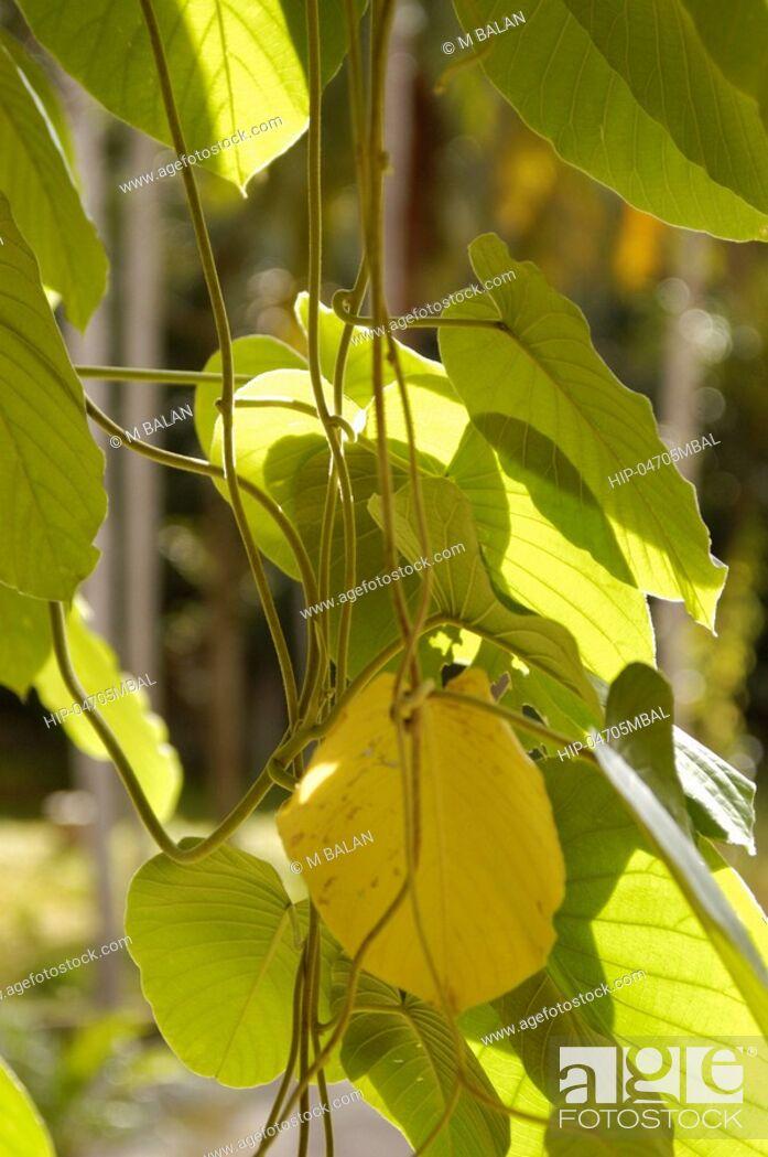 Imagen: AYURVEDA HERB MEDICINAL PLANT.