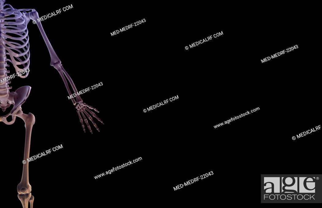 Stock Photo: The bones of the upper limb.