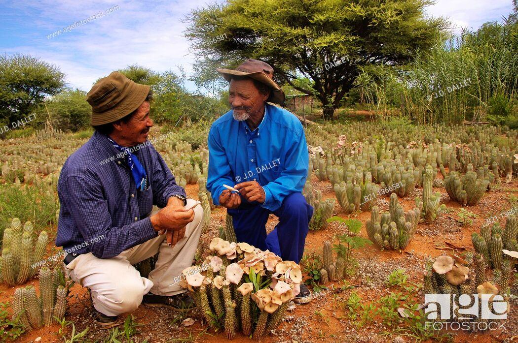 Stock Photo: Hoodia plantation at the Morrisson's brothers San tribe farm, at D'Kar, in the Ghanzi Farms, Botswana.