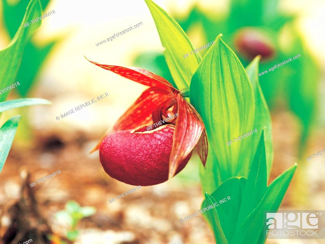 Stock Photo: flower, lady slipper.