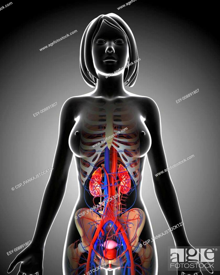Female urinary system anatomy, Stock Photo, Picture And Low
