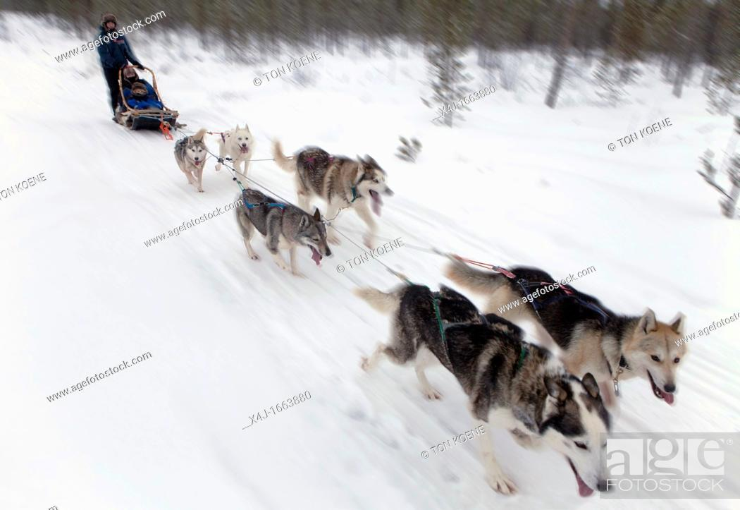 Stock Photo: Husky dogs in Finland.