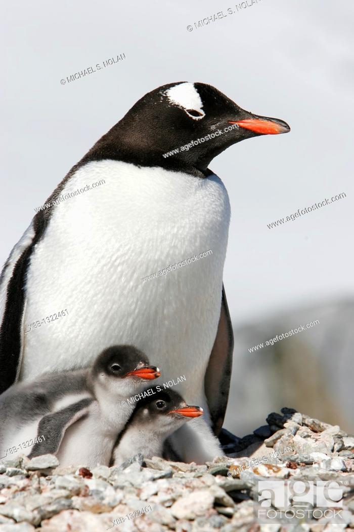 Imagen: Gentoo penguin Pygoscelis papua parent with two downy chicks on Pleneau Island, near the Antarctic Peninsula.