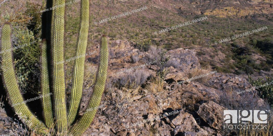 Stock Photo: Organ Pipe Cactus AZ.