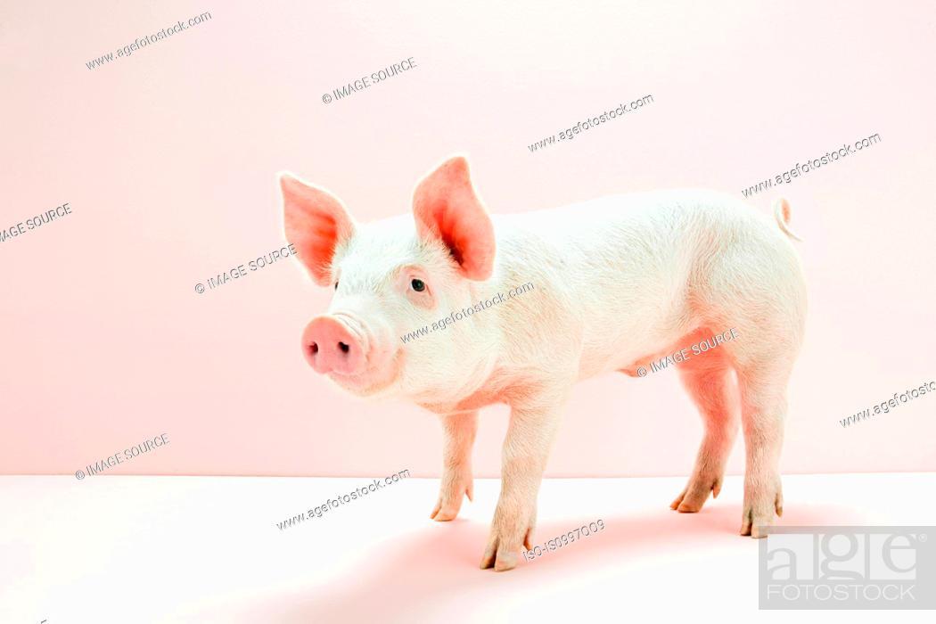 Stock Photo: Piglet in pink studio.