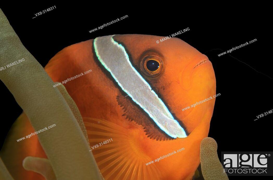 Stock Photo: Male Tomato anemonefish, Amphprion frenatus, Puerto Galera, Oriental Mindoro, Philippines, Pacific.