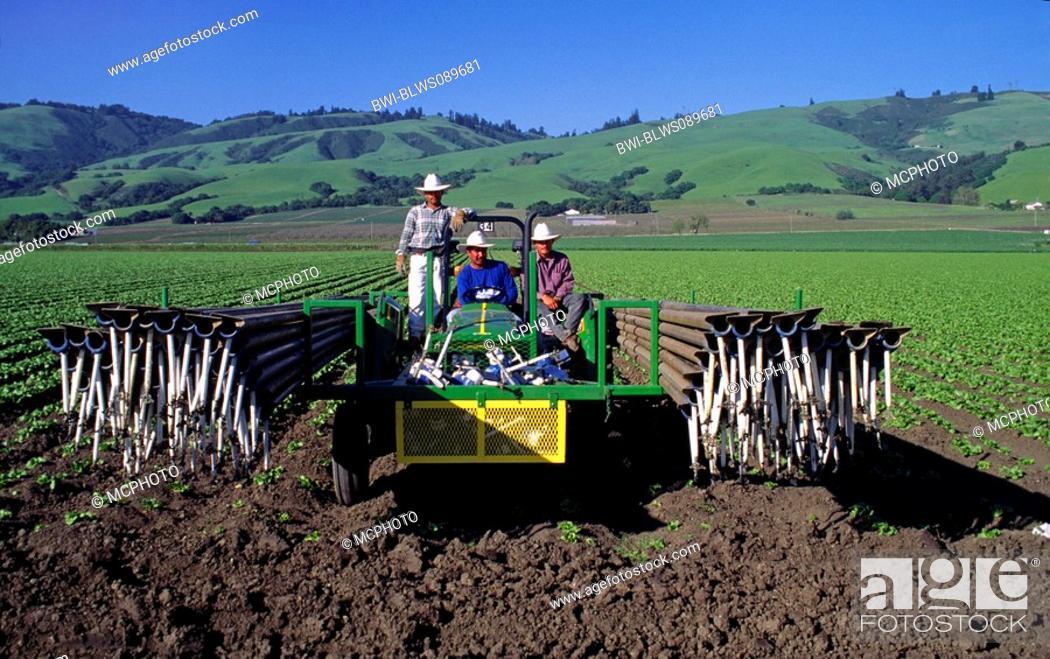 Stock Photo: garden lettuce Lactuca sativa, farm workers move irrigation pipe in a lettuce field, USA, California, Watsonville.