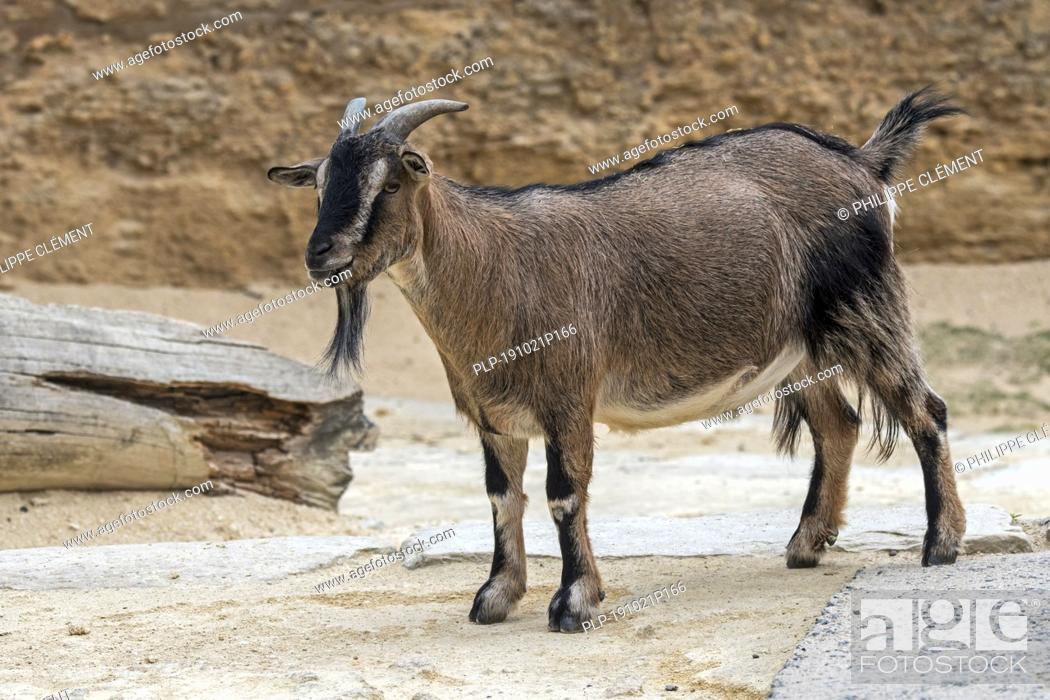 Stock Photo: Cameroon sheep / Cameroon dwarf sheep (Ovis aries) ram, domesticated breed of sheep from West Africa.