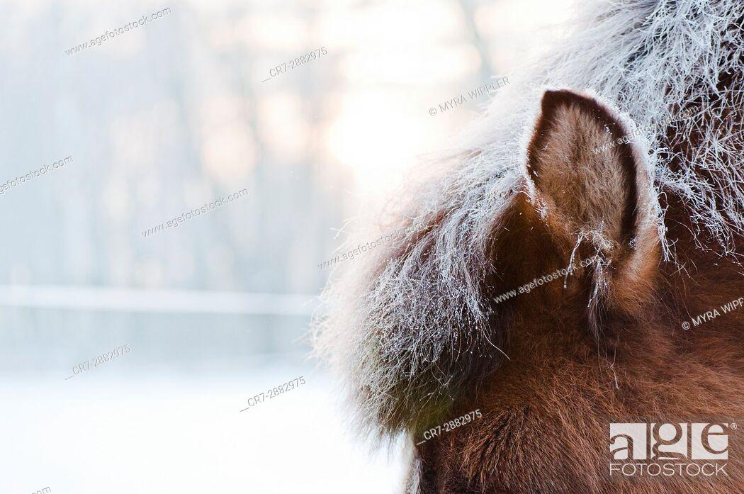 Stock Photo: Icy winter coat on an Icelandic horse.