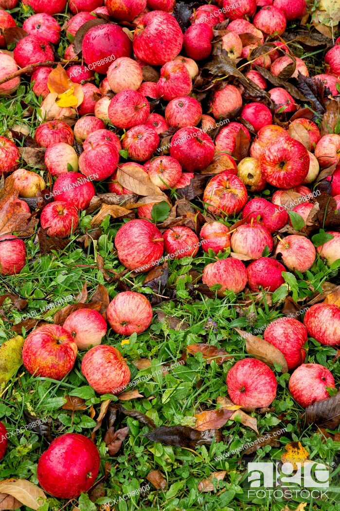 Stock Photo: Fallen apples, Manitoulin Island, Ontario, Canada.