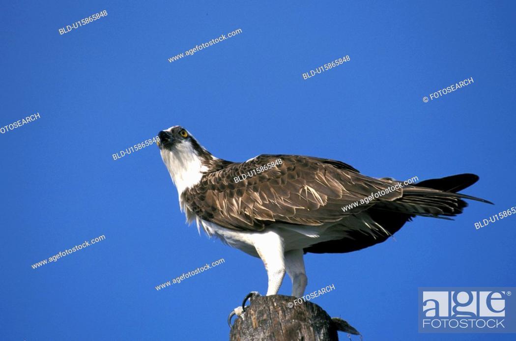 Stock Photo: federn, animals, aves, bird.