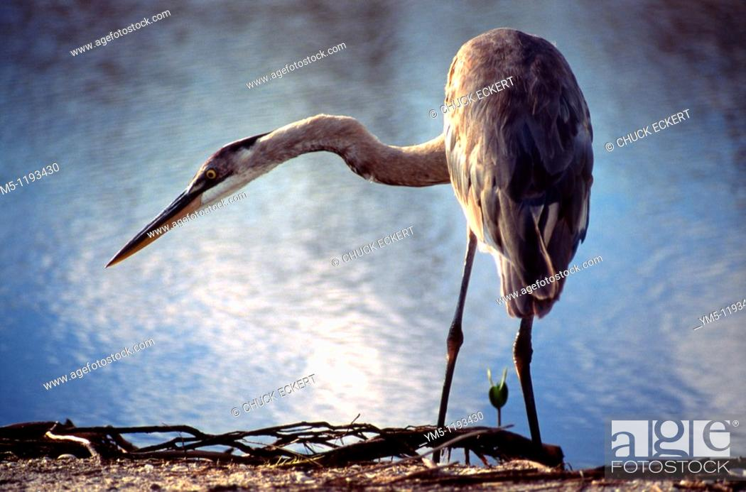 Stock Photo: Great Blue Heron feeding on shoreline with immature mangrove sprout.