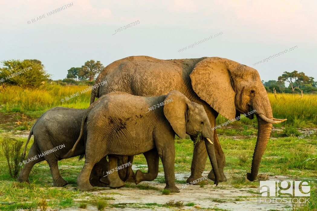 Stock Photo: Elephants, Kwando Concession, Linyanti Marshes, Botswana.