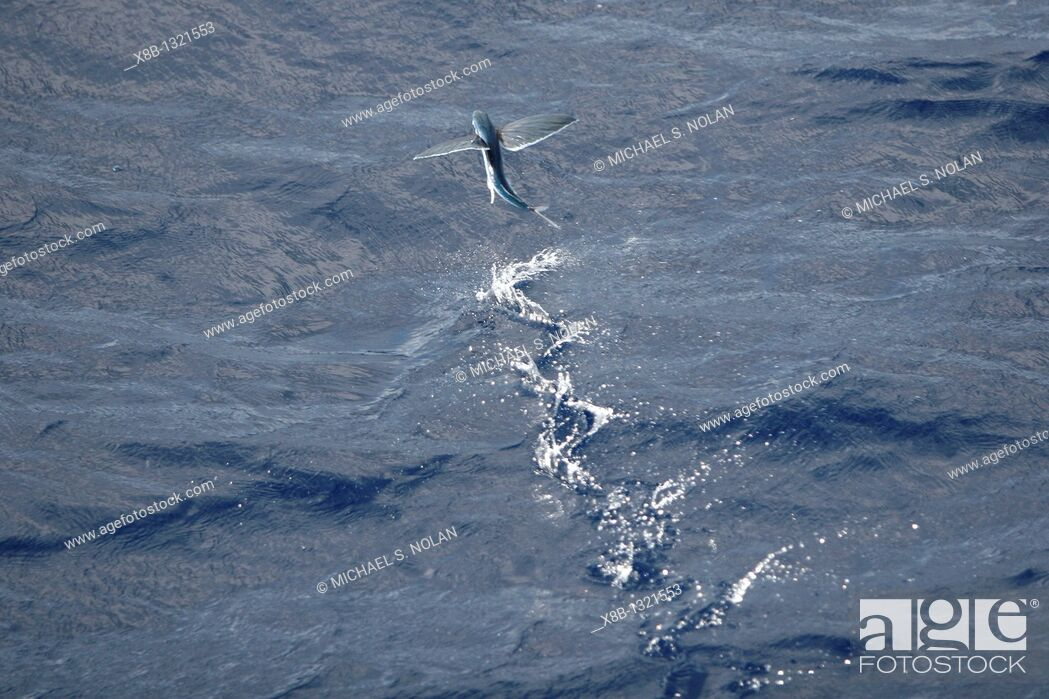 Stock Photo: Atlantic flying fish Cypselurus melanurus fleeing the bow and taking flight for safety near Ascension Island in the Atlantic Ocean.