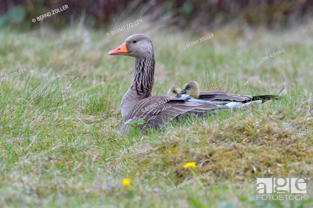 Stock Photo: Greylag goose (Anser anser) with chicks, goslings on its back, in plumage, Flatey Island, Breidafjördur, Iceland.
