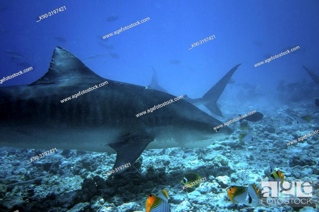 Stock Photo: Tiger Shark (Galeocerdo cuvier) swimming across the reef in search for food, Indian Ocean, Maldives, South Asia.