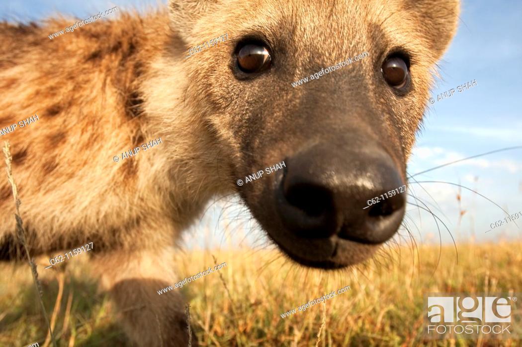 Stock Photo: Spotted hyena (Crocuta crocuta) peering with curiosity, Maasai Mara National Reserve, Kenya.
