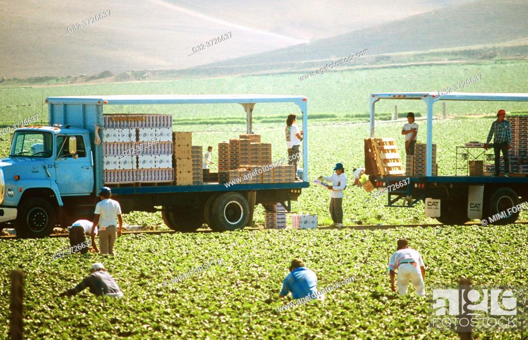 Stock Photo: migrant workers harvest lettuce, California.