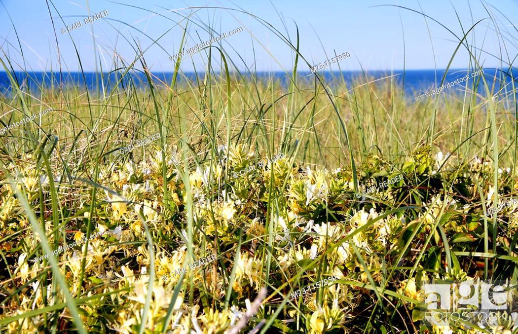Imagen: Honeysuckle grows on the dunes, Long Beach Island, New Jersey, USA.