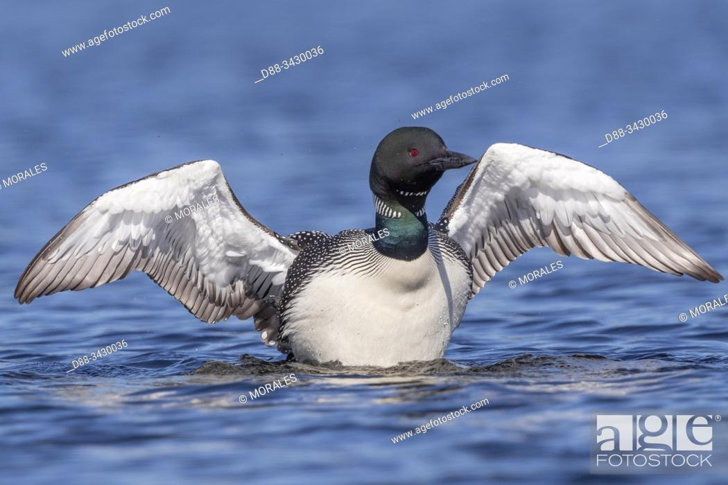 Stock Photo: United States, Michigan, Common Loon (Gavia immer), wing flapping on a lake.
