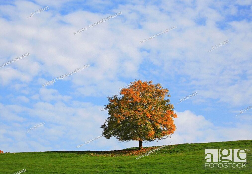 Stock Photo: Lonely tree in autumn.