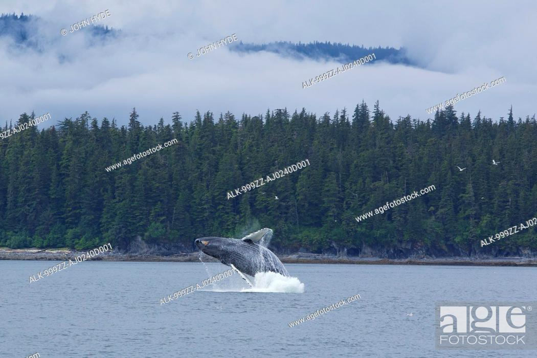 Imagen: Humpback whale breaches in Chatham Strait near Chichagof Island, Tongass National Forest, Southeast Alaska, Summer.