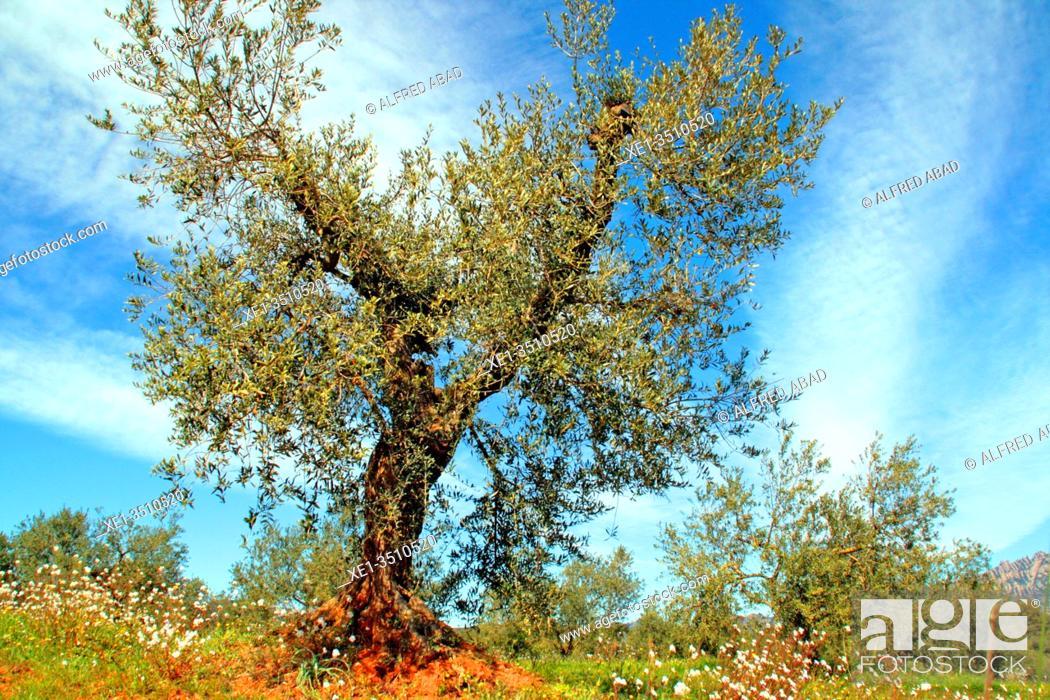Stock Photo: olive tree, Els Hostalets de Pierola, Catalonia, Spain.