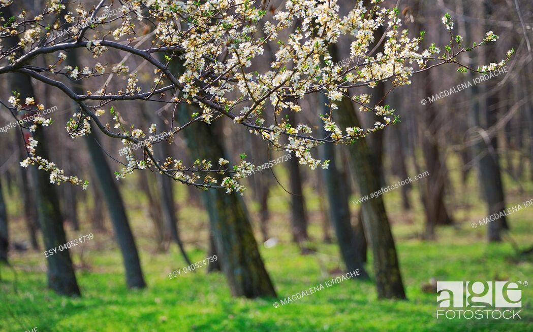 Stock Photo: Closeup spring blossoming tree brunch in forest.