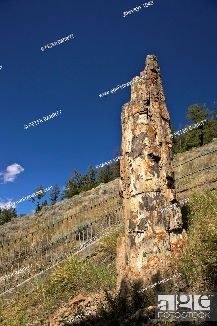 Petrified Tree Near Tower Roosevelt Yellowstone National Park Unesco World Heritage Site Wyoming Stock Photo Picture And Rights Managed Image Pic Rha 831 1042 Agefotostock
