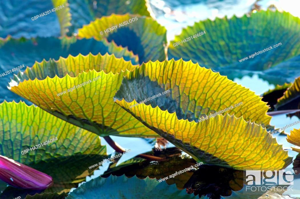 Stock Photo: Red Indian water lily - Leaf (Nymphaea pubescens) - Tale Noi - Patthalung - Thailand.