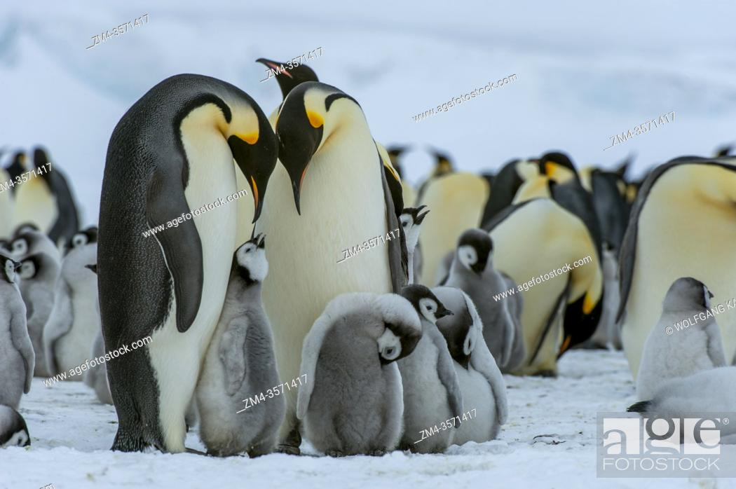 Stock Photo: Emperor penguins (Aptenodytes forsteri) with chicks on the sea ice at Snow Hill Island in the Weddell Sea in Antarctica.