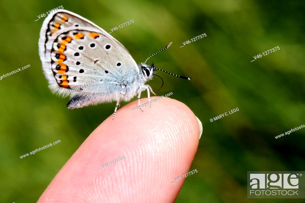 Stock Photo: Reverdin's Blue, Plebeius argyrognomon on photographer's finger  male  Underwings markings clearly visible  Milovice, Czech Republic.