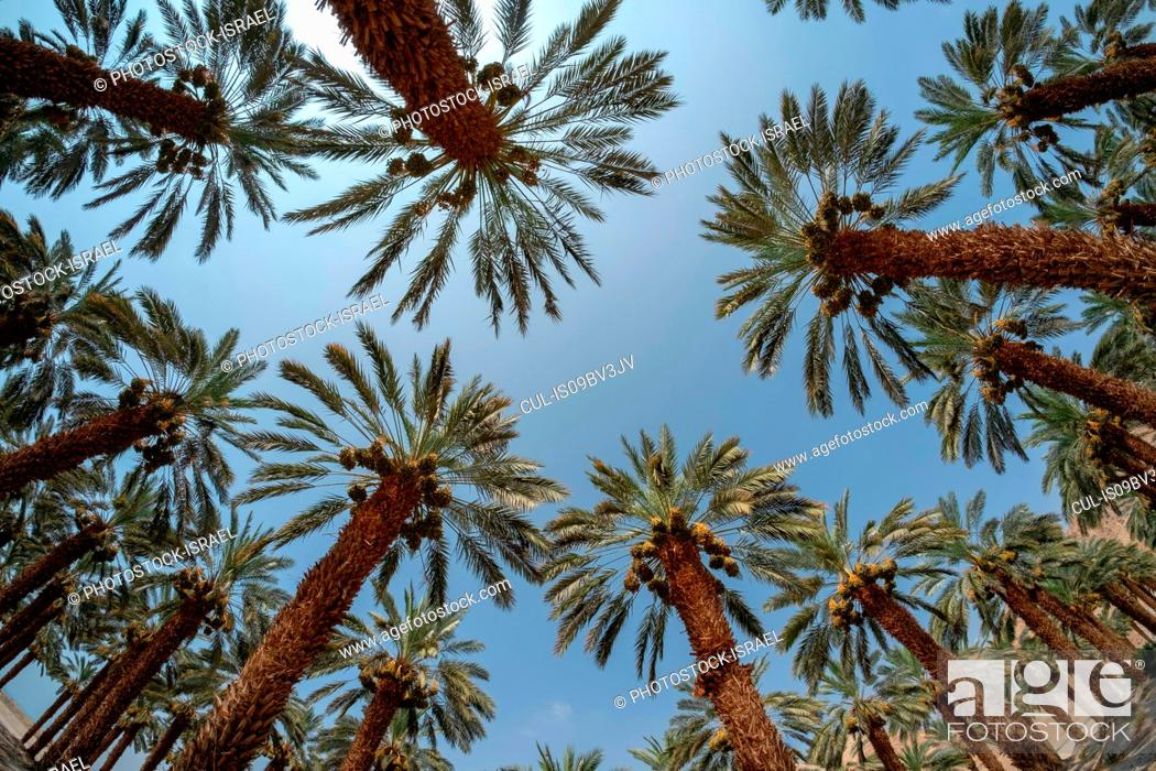 Stock Photo: Desert agriculture. Low angle fisheye view of palm tree plantation in the Dead Sea region, Israel.