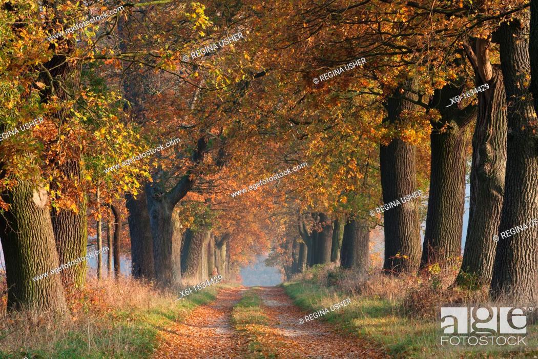 Stock Photo: Common Oak Allee Quercus robur, in Autumn Colour, Beberbeck, North Hessen, Germany.
