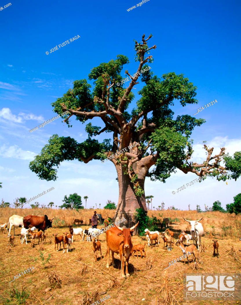 Imagen: Goats, cows and Baobab tree. Senegal.