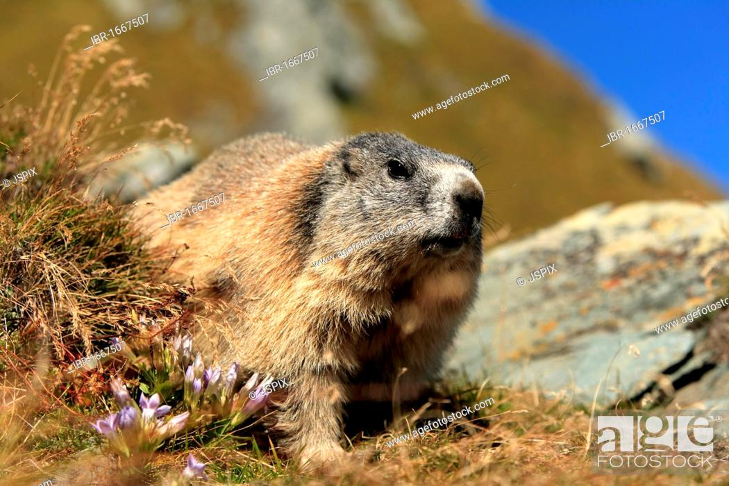 Stock Photo: Alpine Marmot (Marmota marmota), adult, Grossglockner Mountain Range, Hohe Tauern National Park, Austria, Alps, Europe.