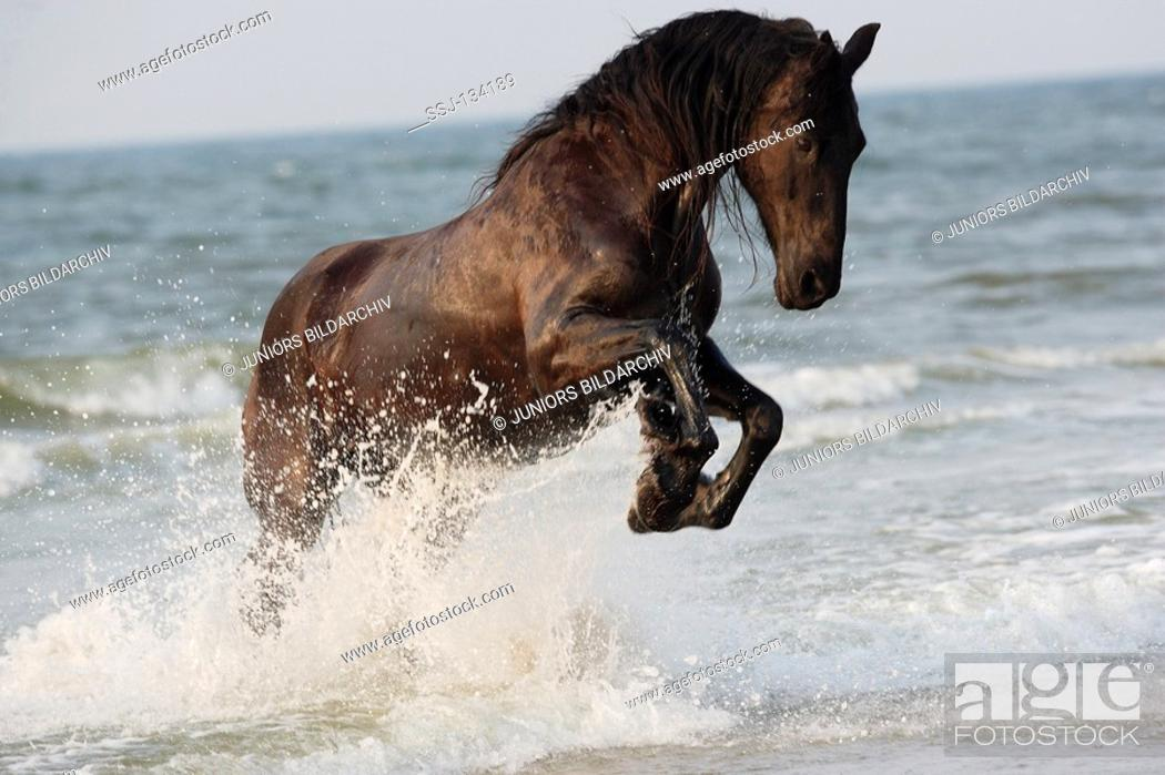 Friesian Horse Jumping In Water Stock Photo Picture And Rights Managed Image Pic Ssj 134189 Agefotostock