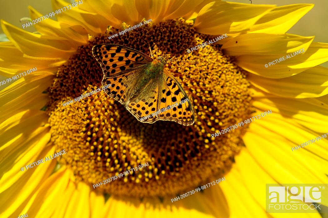 """Stock Photo: 30 July 2020, Saxony-Anhalt, Haldensleben: A butterfly, a """"""""little mother-of-pearl butterfly"""""""" sits on a sunflower. Midsummer has arrived in the country."""